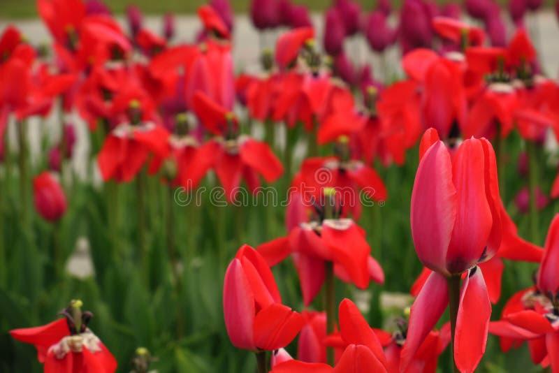 Rood tulpengebied in Nederland Rode tulpengebieden Rode Tulpenmening Rode tulpengebieden in Holland stock afbeelding
