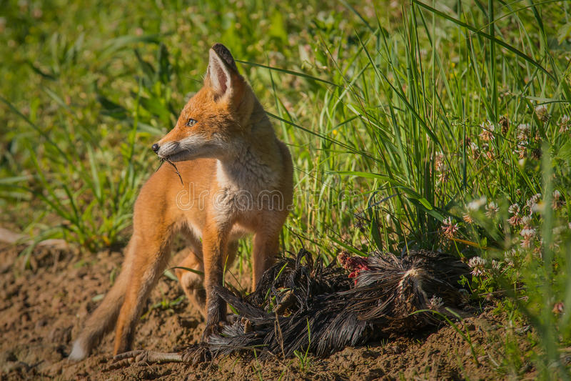 Rood vosontbijt royalty-vrije stock fotografie