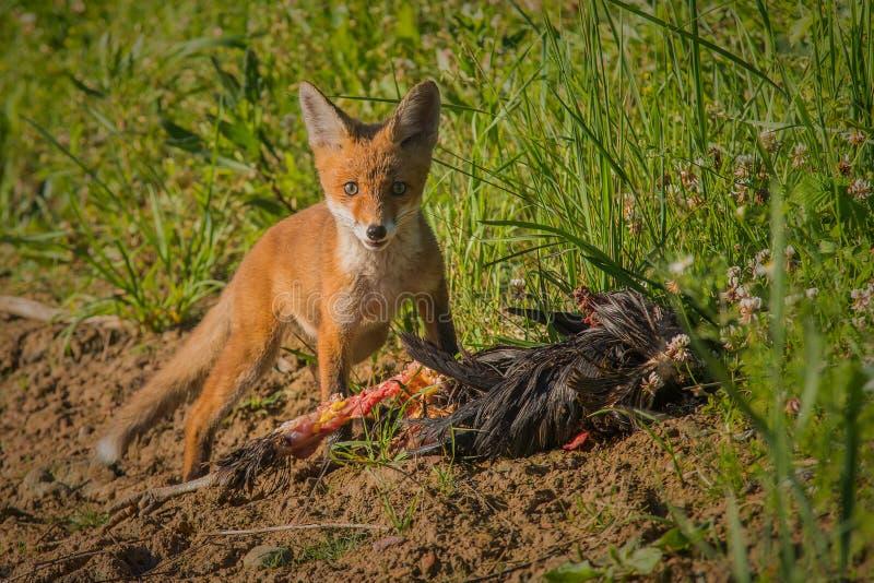 Rood vosontbijt stock afbeelding