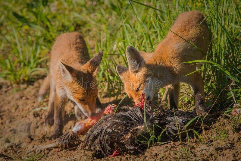 Rood vosontbijt royalty-vrije stock foto