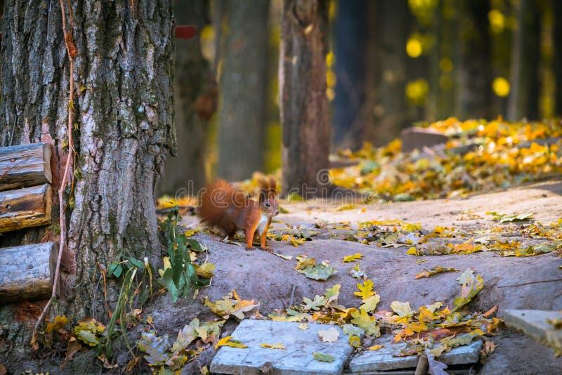 Rood weinig eekhoorn in de bosherfst stock foto