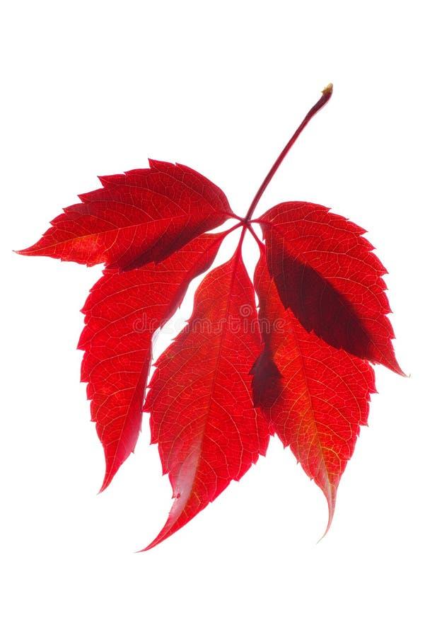 Rood wild druivenblad stock foto