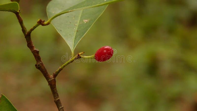 Rood wildernisfruit in het bos stock foto