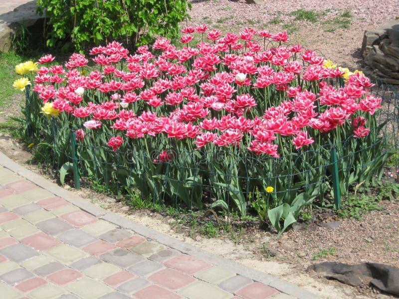 Rood-witte pion-als badstof omzoomde tulpen in een bloembed royalty-vrije stock afbeelding