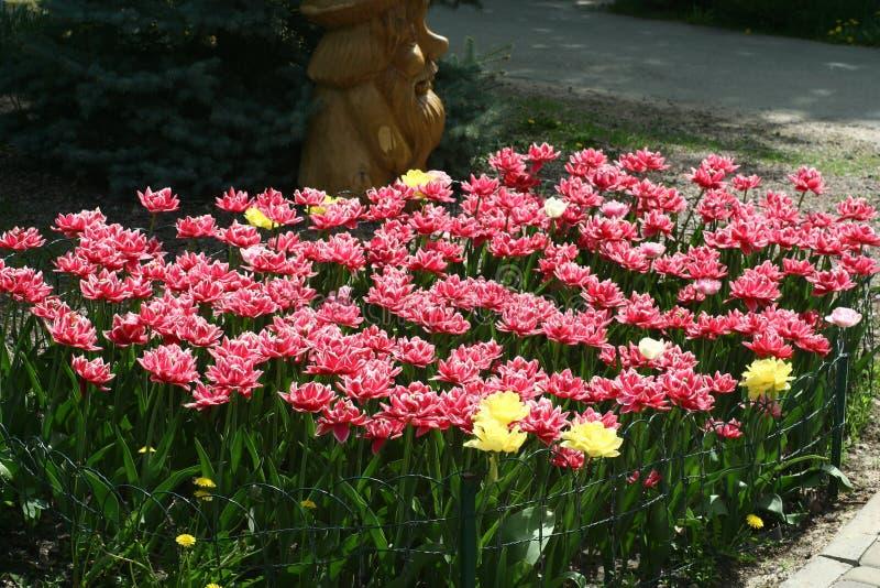 Rood-witte pion-als badstof omzoomde tulpen in een bloembed royalty-vrije stock fotografie