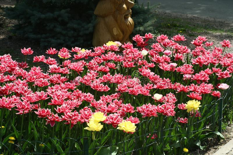 Rood-witte pion-als badstof omzoomde tulpen in een bloembed royalty-vrije stock afbeeldingen