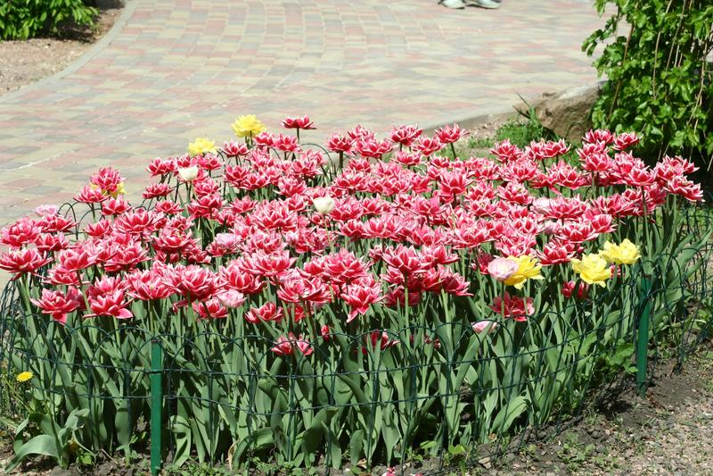 Rood-witte pion-als badstof omzoomde tulpen in een bloembed royalty-vrije stock foto