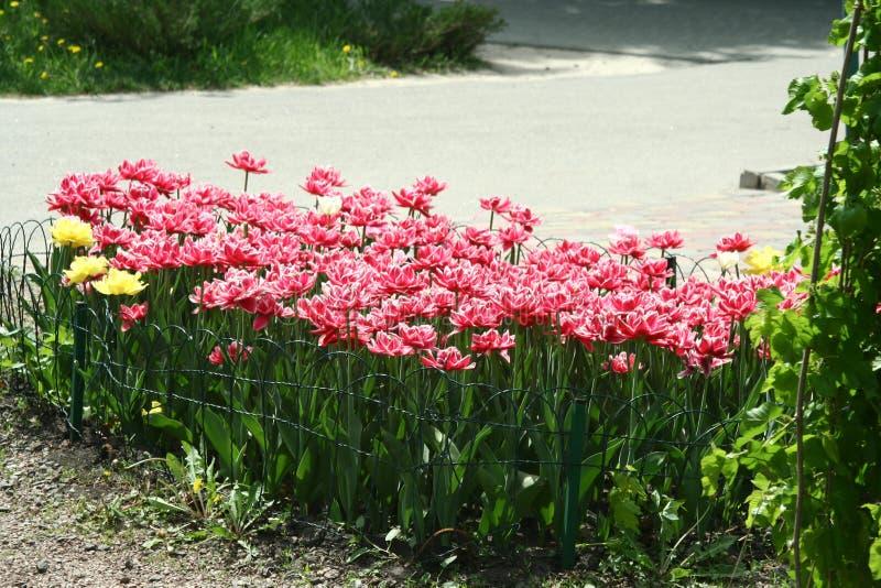 Rood-witte pion-als badstof omzoomde tulpen in een bloembed stock afbeeldingen