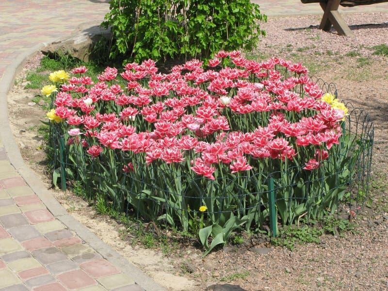Rood-witte pion-als badstof omzoomde tulpen in een bloembed stock foto