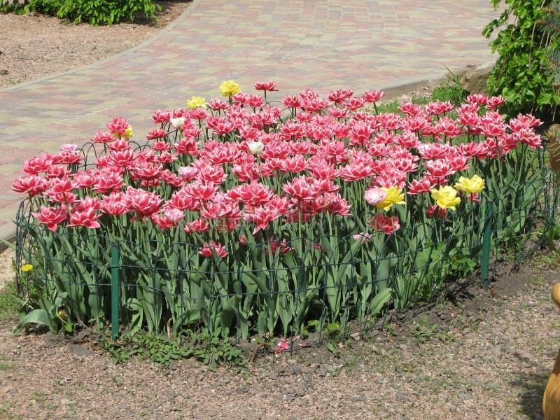 Rood-witte pion-als badstof omzoomde tulpen in een bloembed stock afbeelding