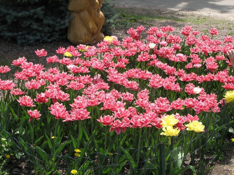Rood-witte pion-als badstof omzoomde tulpen in een bloembed stock foto's