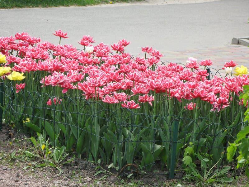 Rood-witte pion-als badstof omzoomde tulpen in een bloembed stock fotografie