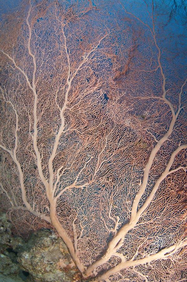 Rood zacht koraal royalty-vrije stock foto's