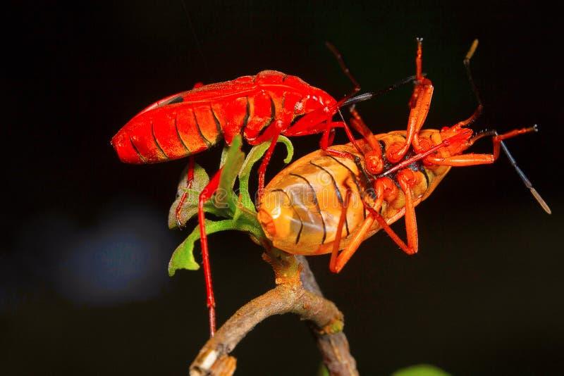 Rood zijde katoenen insect, Aarey-Melkkolonie, INDIA stock afbeelding