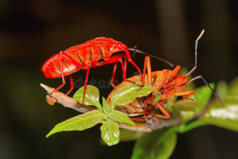 Rood zijde katoenen insect, Aarey-Melkkolonie, INDIA stock fotografie