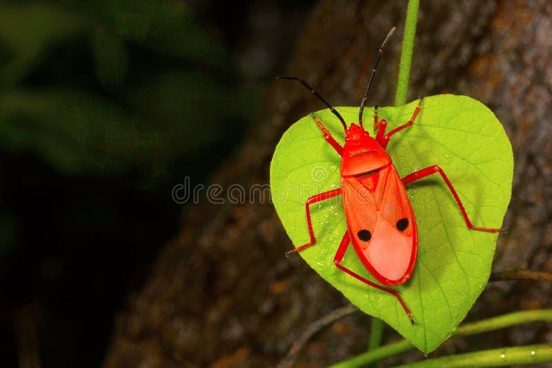 Rood zijde katoenen insect, Pyrrhocoridae, Aarey-Melkkolonie, INDIA stock foto's