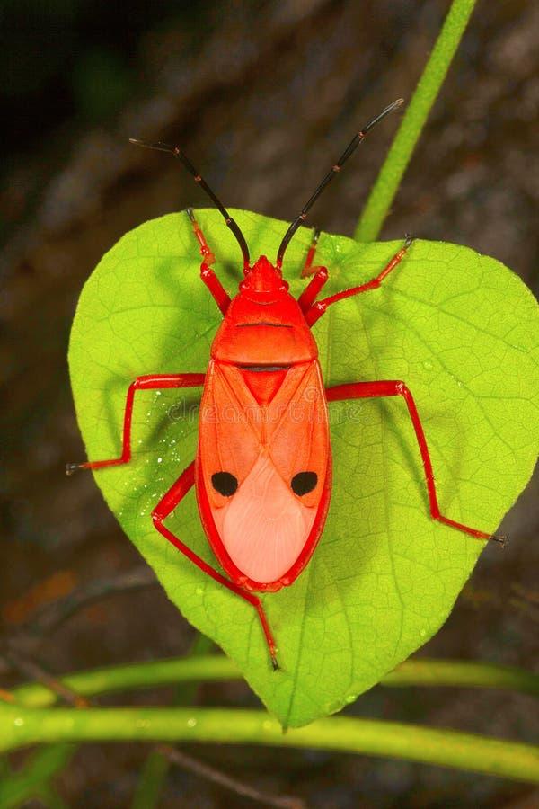 Rood zijde katoenen insect, Pyrrhocoridae, Aarey-Melkkolonie, INDIA royalty-vrije stock afbeelding