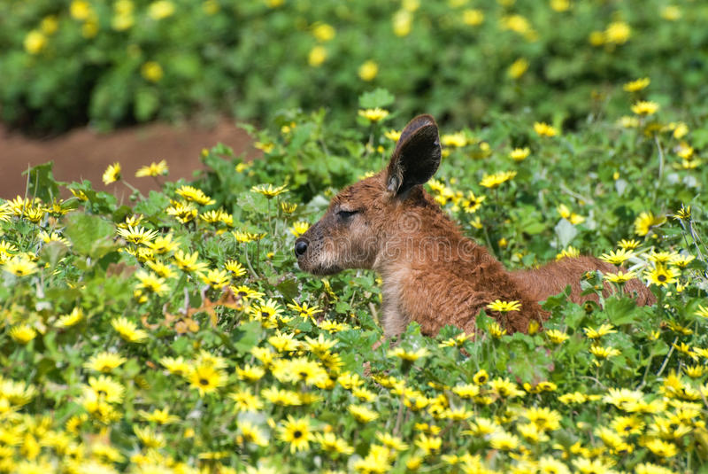 Roodachtige kangoeroe die op het gras ligt stock afbeelding