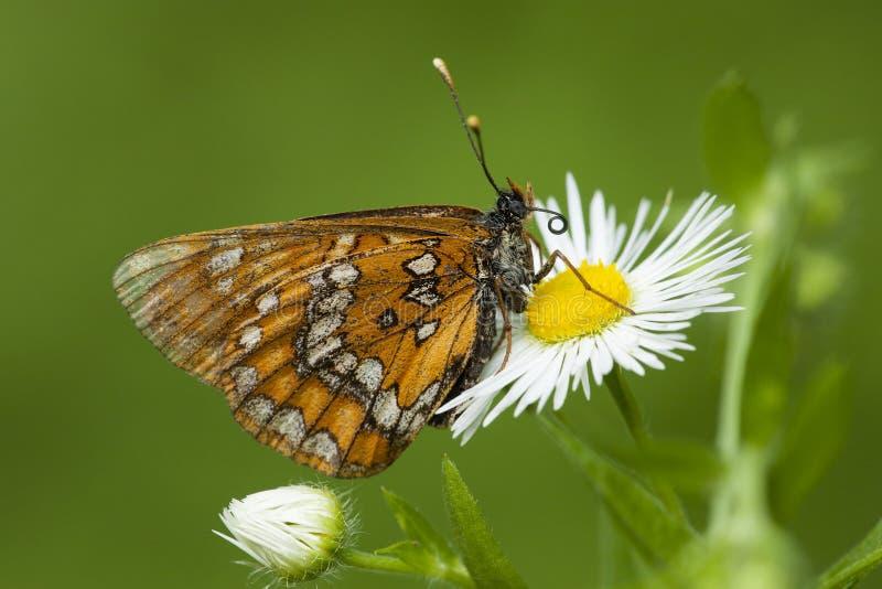 Roodbonte parelmoervlinder, λιγοστό Fritillary, Euphydryas maturn στοκ φωτογραφία με δικαίωμα ελεύθερης χρήσης