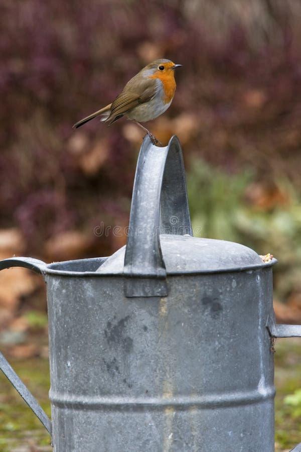 Roodborst, European Robin, Erithacus rubecola stock images