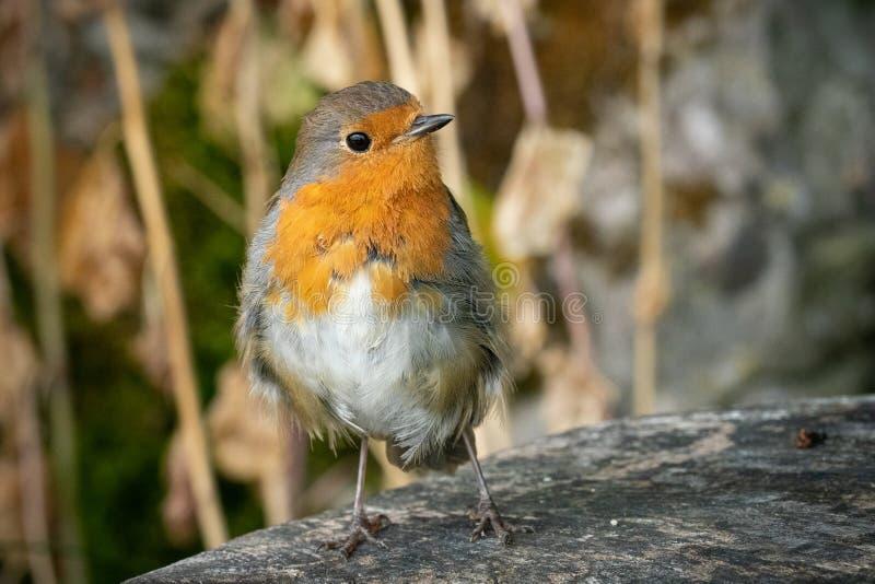 Roodborstje Robin op houten bank stock afbeeldingen
