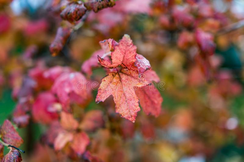 Roodbruine Levendige Kleur Autumn Leafs, recht na de regen royalty-vrije stock foto's