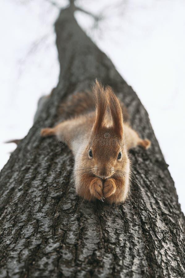 Roodeekhoorn eet noten die ondersteboven aan de boom hangen Het voederen van stadsdieren in de winter royalty-vrije stock foto's