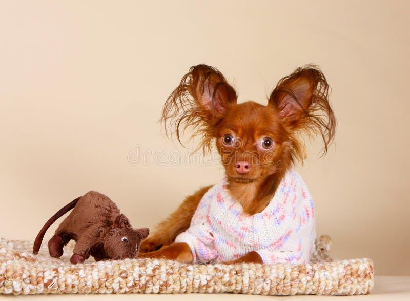 Roodharigepuppy het stellen met een favoriet stuk speelgoed in de studio Een kleine hond ligt op een gebreide deken met een bruin stock fotografie
