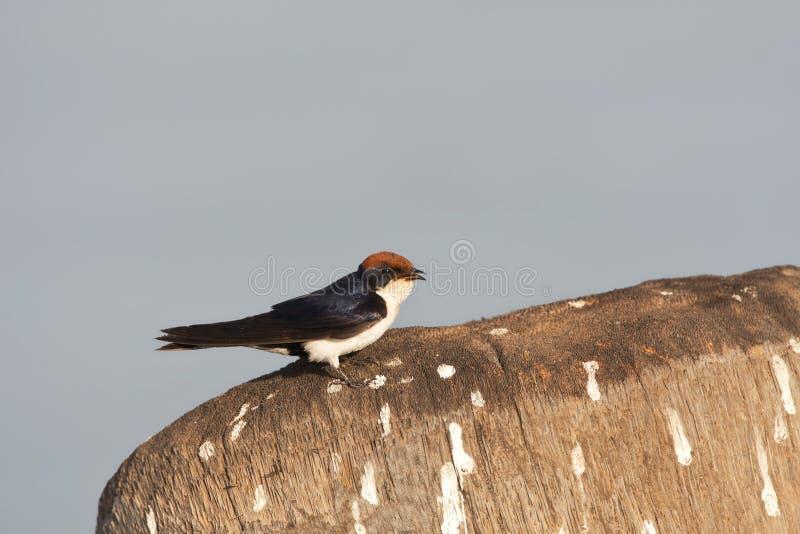 Roodkruinzwaluw, Draht-angebundene Schwalbe, Hirundo smithii lizenzfreie stockfotografie