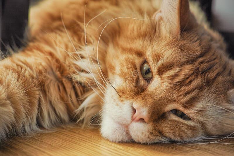 Roodmaine coon kat op de vloer en kijkend naar de camera royalty-vrije stock afbeeldingen