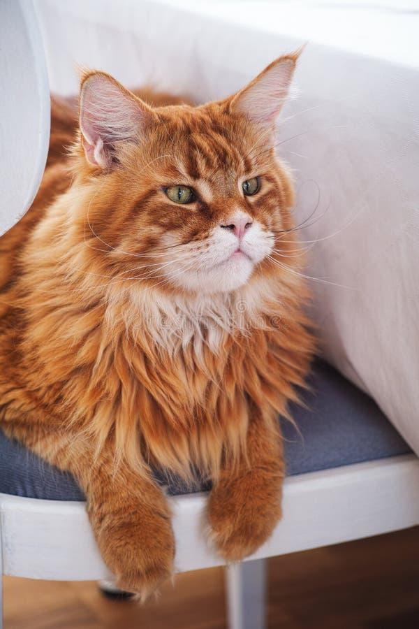 Roodmaine coon kat op een stoel royalty-vrije stock foto