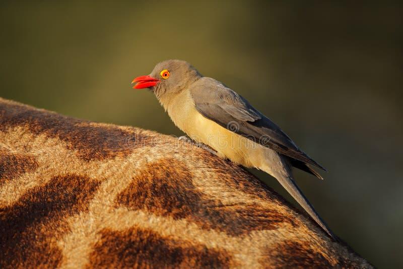 Roodnaveloxpecker op giraffe - Zuid-Afrika royalty-vrije stock afbeelding