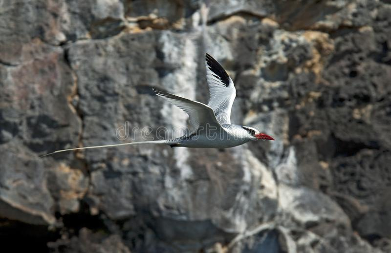 Roodsnavelkeerkringvogel, Tropicbird Rojo-cargado en cuenta, éter del Phaethon fotografía de archivo