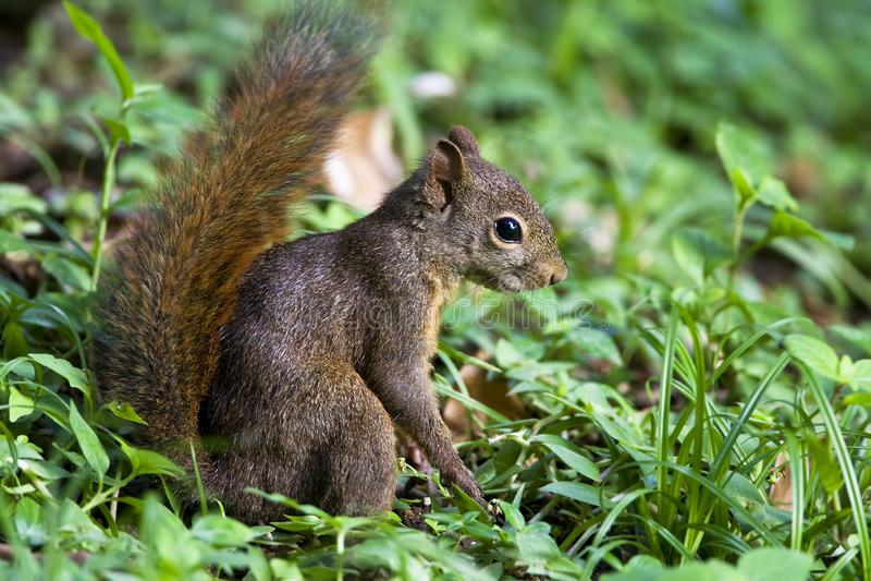 Roodstaartboomeekhoorn, κόκκινος-παρακολουθημένος σκίουρος, Sciurus Granatensis στοκ φωτογραφία με δικαίωμα ελεύθερης χρήσης