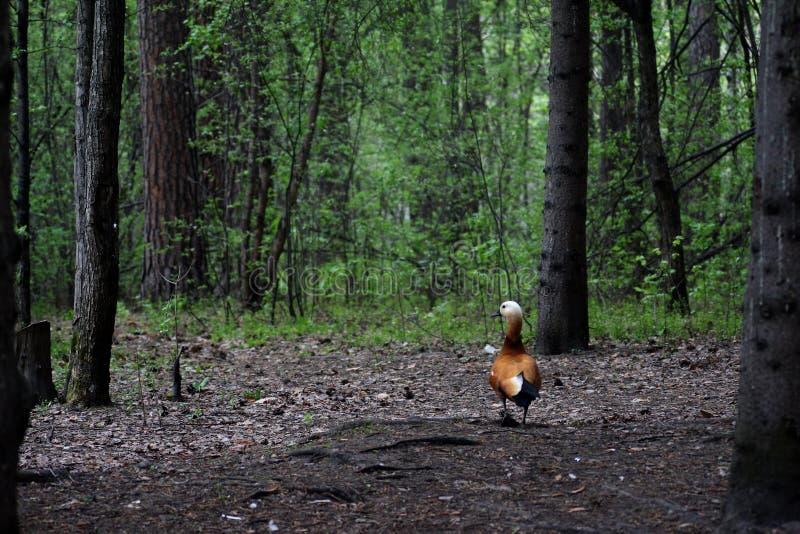 Roody sheld duck walking stock image