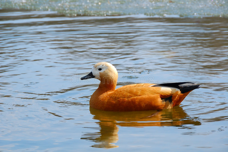 Roody shelduck royalty free stock images