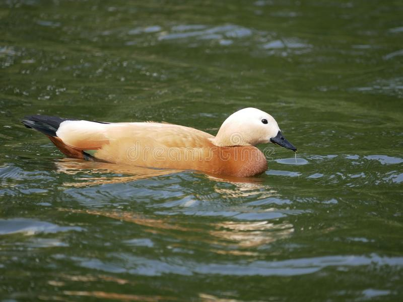 Roody shelduck swims on the river outside the city. spring Sunny day. beautiful young roody shelduck. stock photos