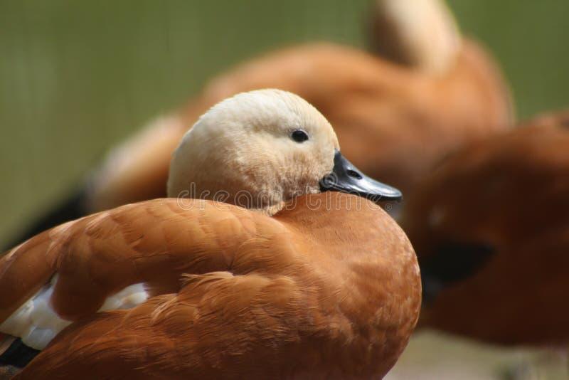 Roody shelduck (Tadorna ferruginea). Close-up of the red duck stock photos
