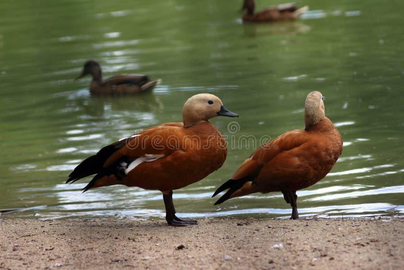 Roody shelduck (Tadorna ferruginea). Pair of the red ducks royalty free stock photos