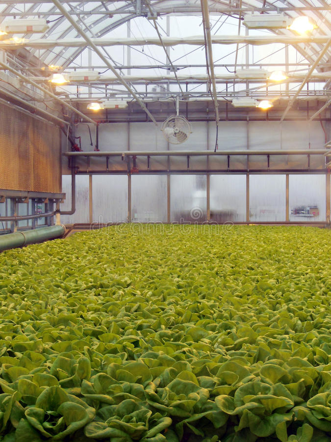 Roof farm lettuce patch. Hydroponic lettuce grown indoors on roof farm in an urban garden in winter stock image