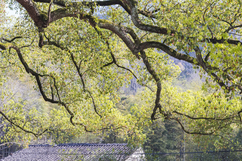 Roof and Old camphor tree stock image