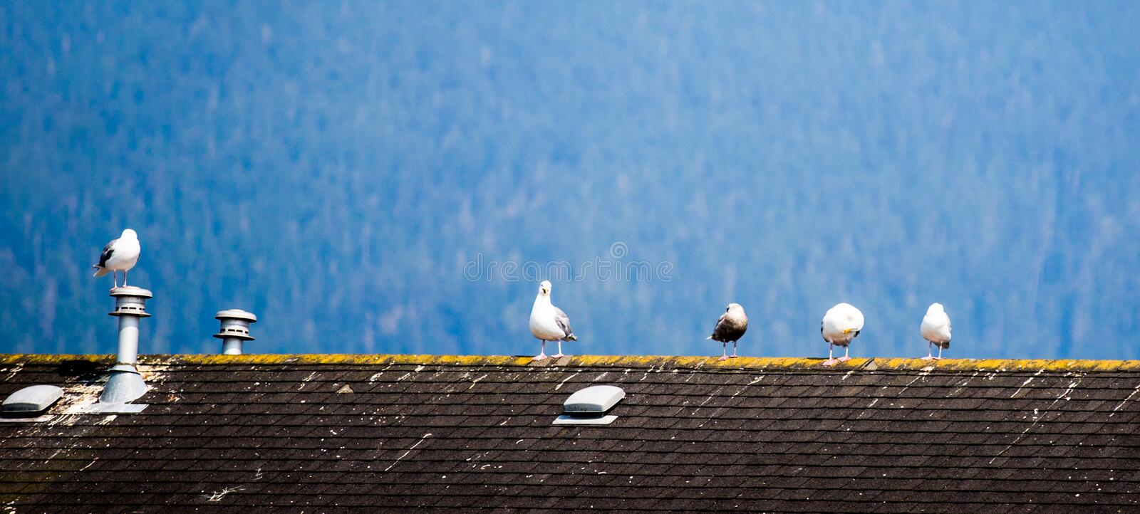 There are several dove standing on the roof. On the roof stood a few pigeons of various postures, leisurely and comfortable, misty distances, faintly visible royalty free stock photos
