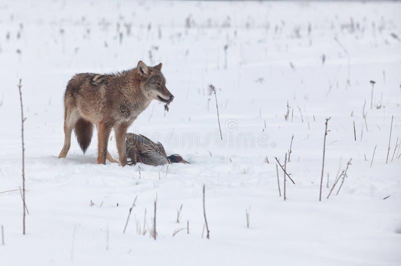 Coyote met fazant royalty-vrije stock foto
