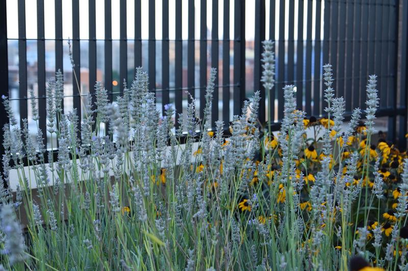 Rooftop garden. Lavender and black eyed susan sunflowers grow in a wild rooftop garden stock photos