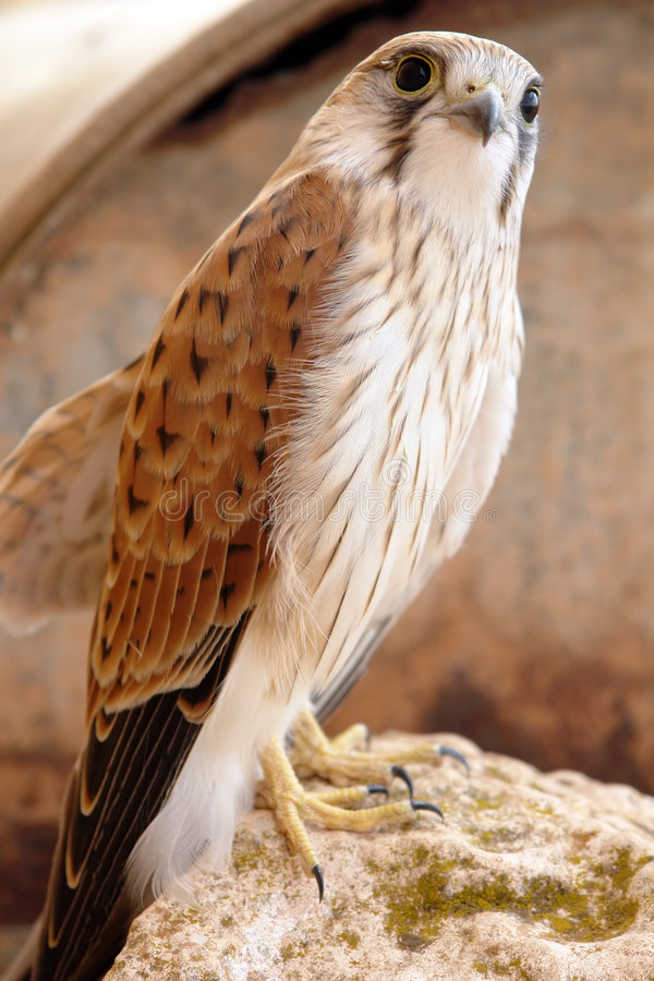 Roofvogel stock afbeeldingen
