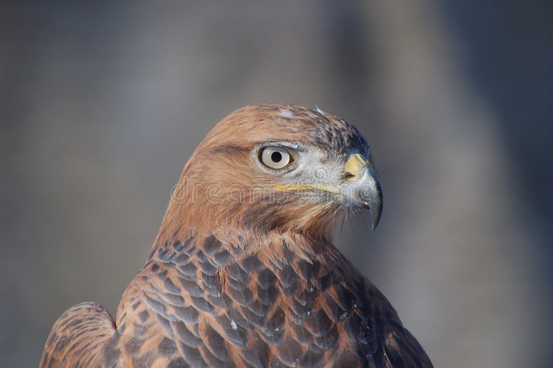Roofvogel royalty-vrije stock foto's