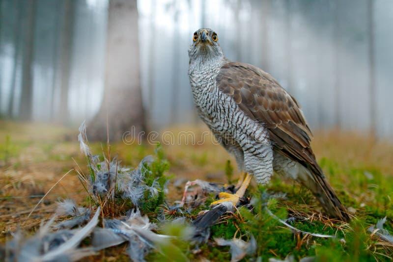 Roofvogel Goshawk met gedode Europees-Aziatische binnen Ekster op het gras in groene bos het Wildscène van het bos Dierlijke gedr royalty-vrije stock fotografie