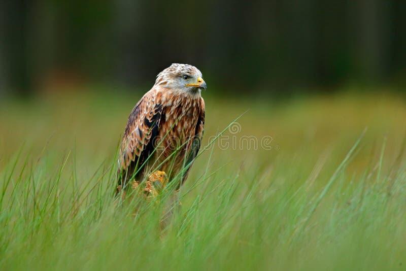 Roofvogel Rode vlieger, Milvus-milvus, die in het groene moerasgras landen, met open vleugels, bos op de achtergrond stock afbeelding