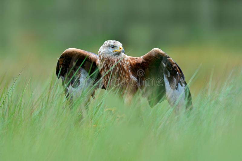 Roofvogel Rode vlieger, Milvus-milvus, die in het groene moerasgras landen, met open vleugels, bos op de achtergrond royalty-vrije stock fotografie
