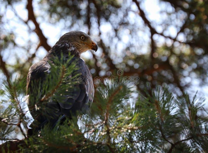 Roofvogels, of roofvogels royalty-vrije stock foto